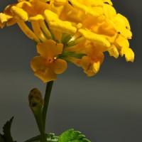 Si Kuning Dari Serpong