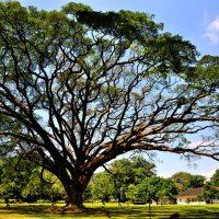 Pohon Istana Bogor