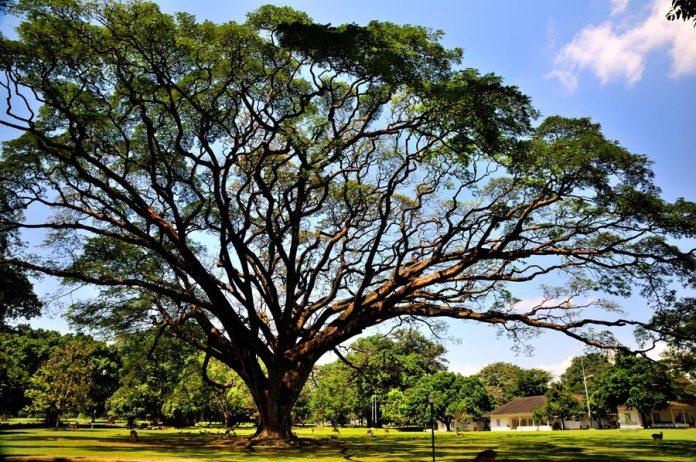Foto pohon di halaman Istana Bogor saat Bogor Photo Walk. (D90 + 17-50mm/2.8+variND filter VC @iso200,f11,1/10)