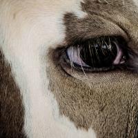 Mata sapi lagi ....