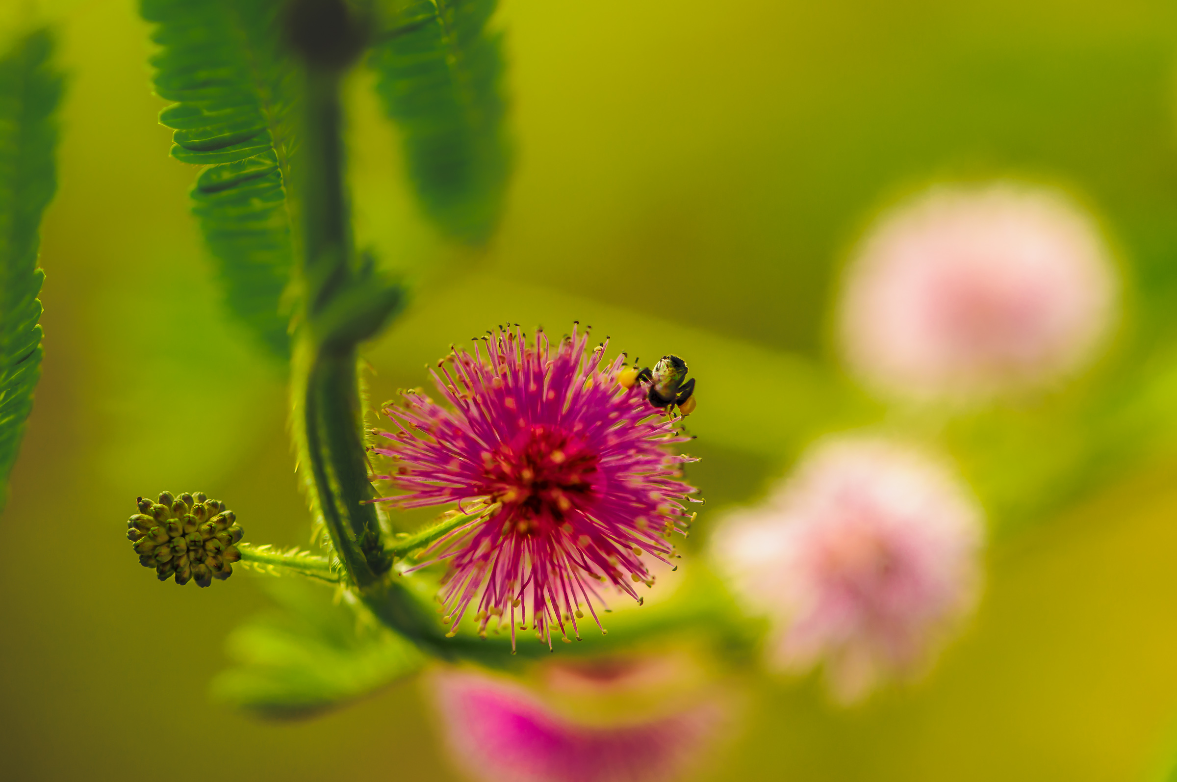 Flower Spider - Iksa Menajang