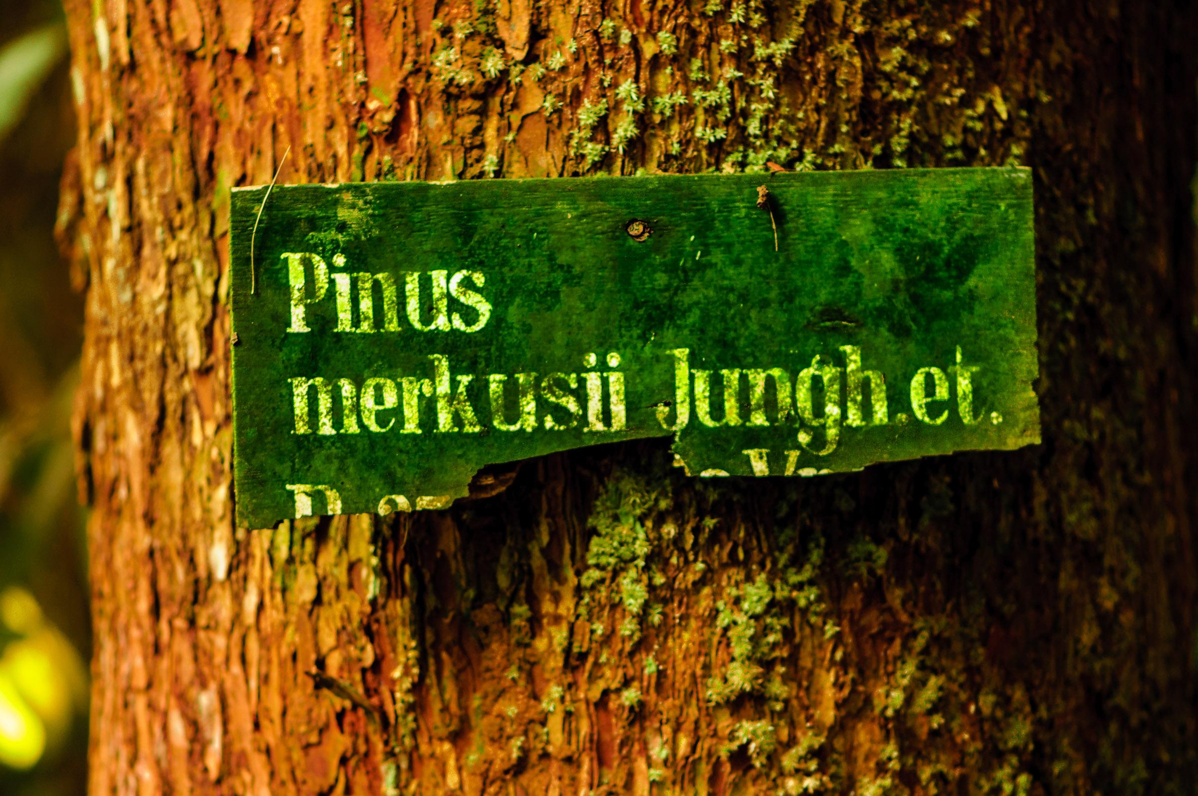 CIFOR Pinus - Iksa Menajang