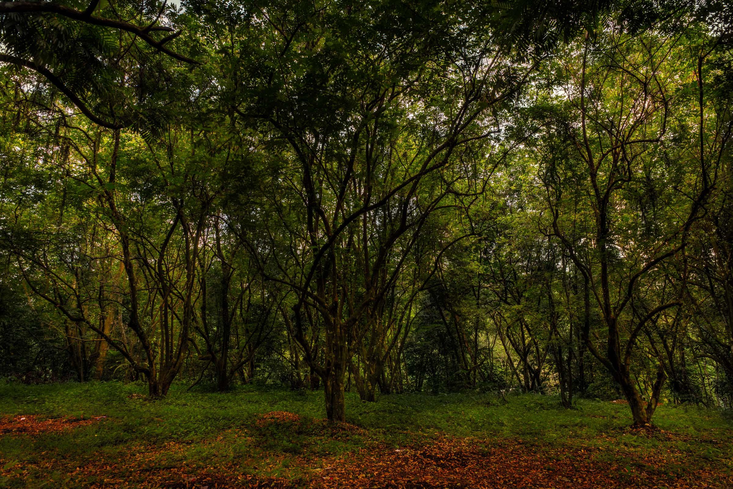 IPB Campus Trees - Iksa Menajang