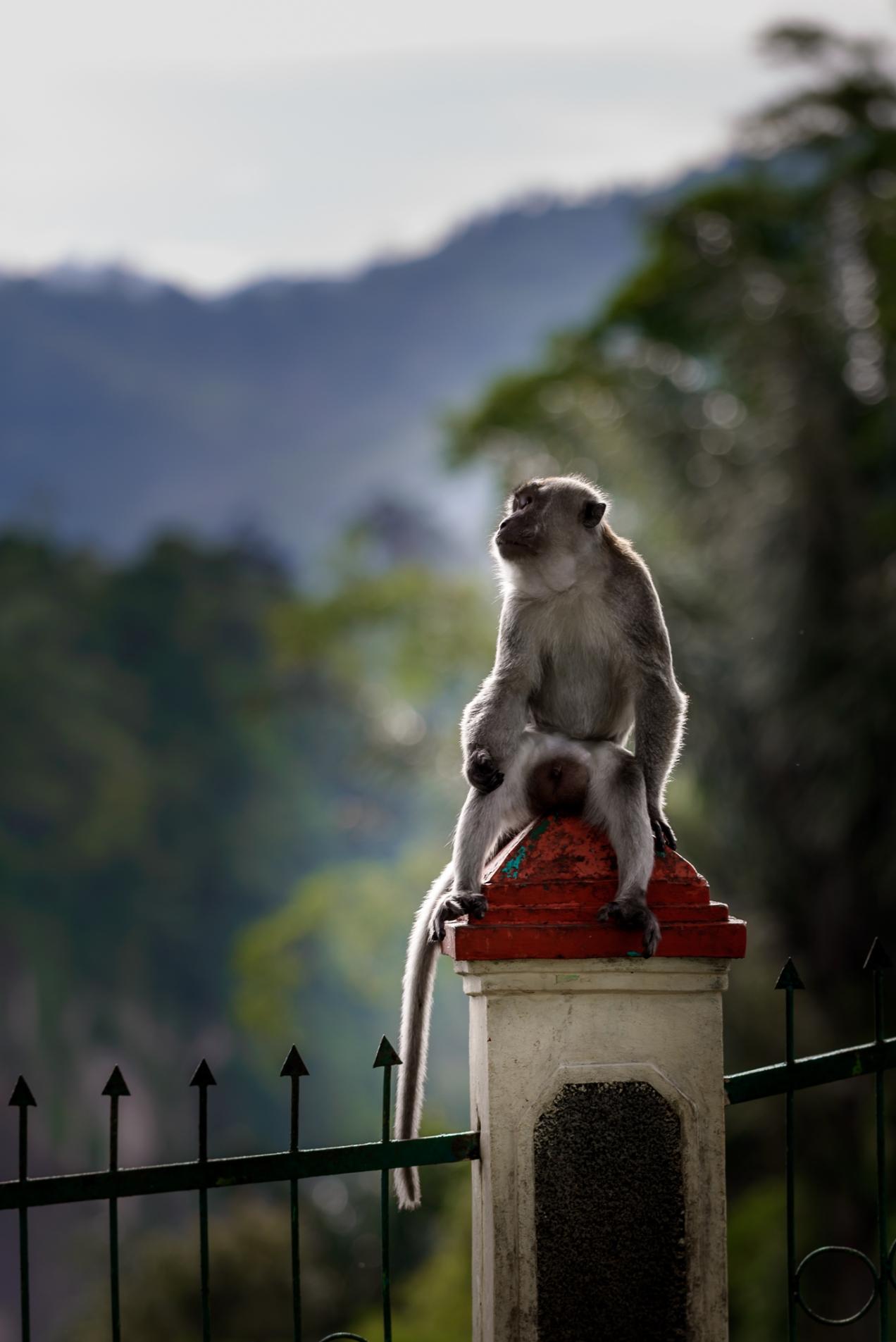 Macaca Monkey - Iksa Menajang