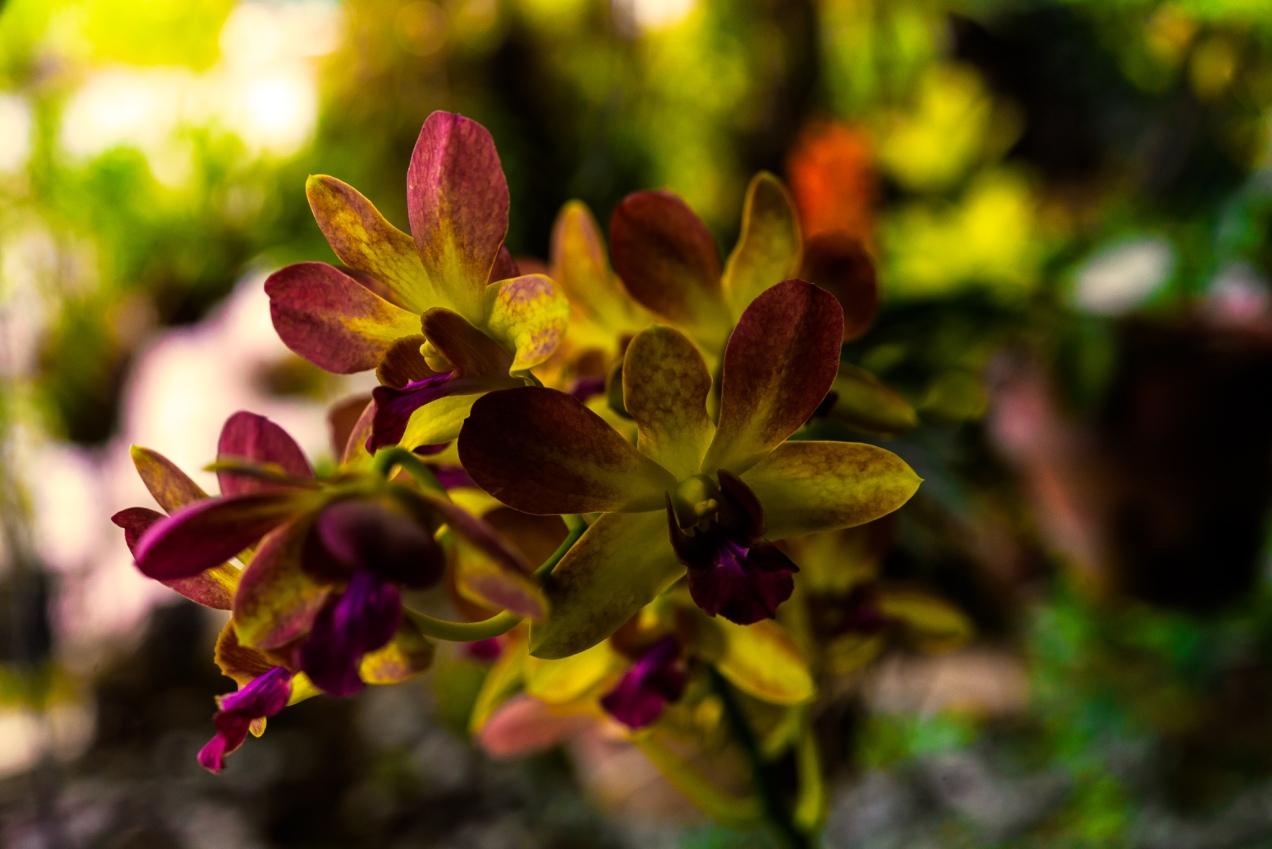 Flowers Orchid - Iksa Menajang