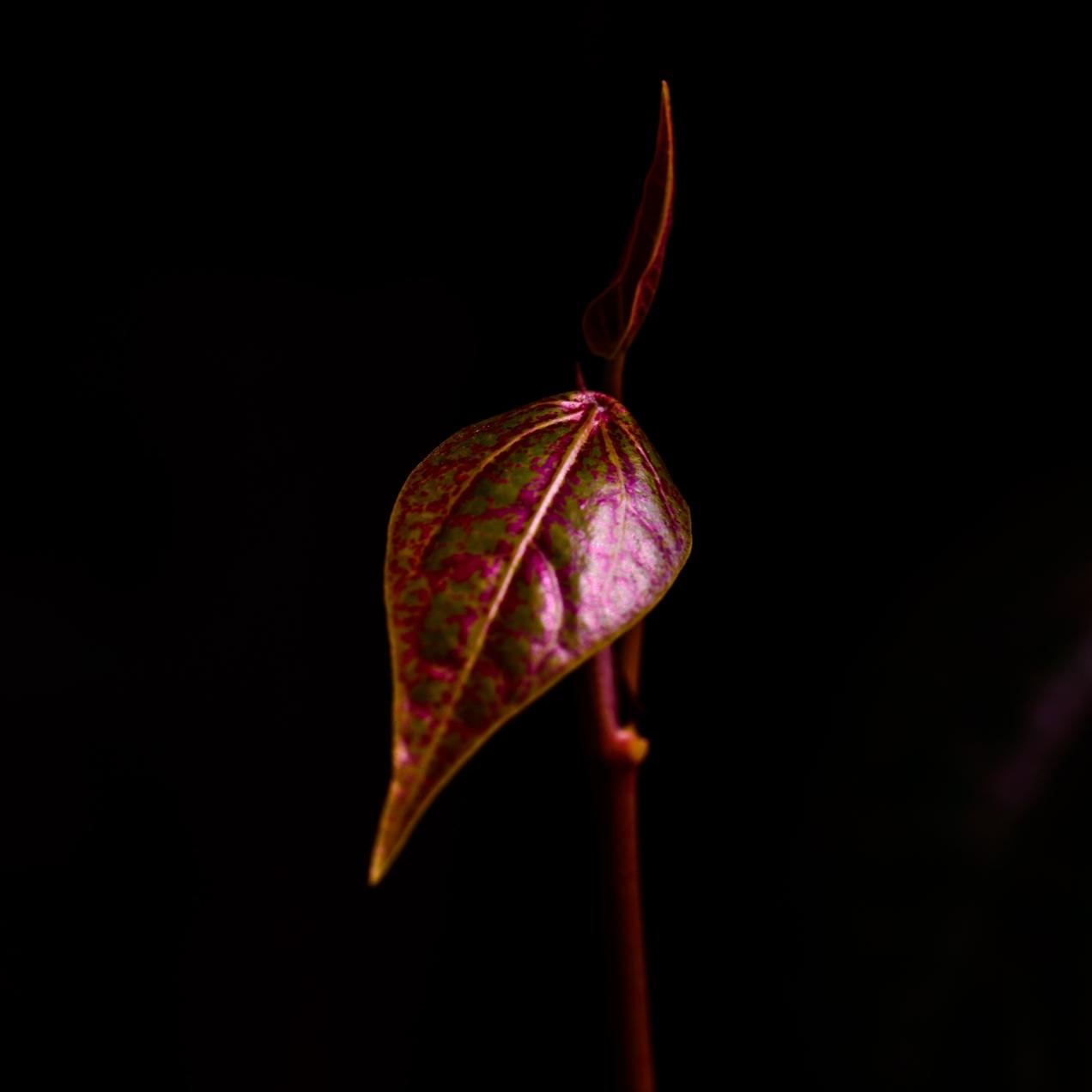 Leaf - Iksa Menajang