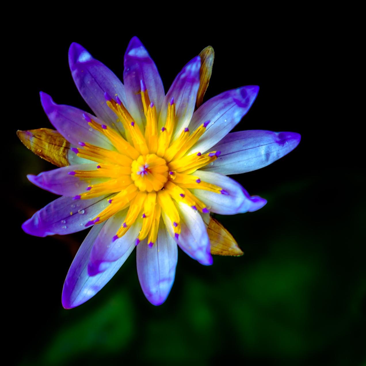 Teratai alias Water Lily