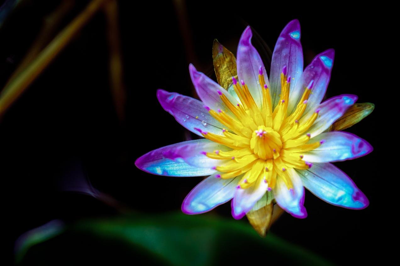 Water Lily Fujifilm
