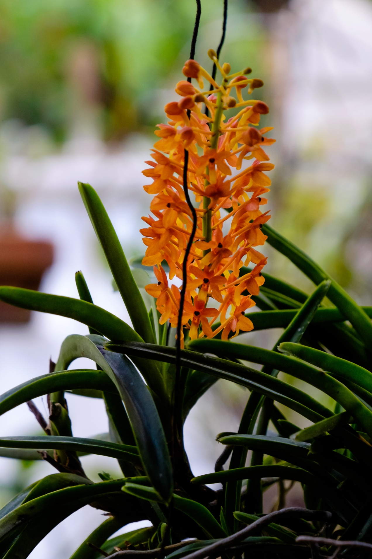 Mini Wild Orchid